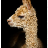 Simba of Bent Pine Alpaca Farm