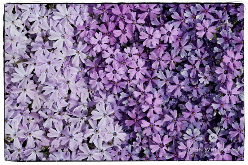 Photograph of Spring Phlox in bloom.