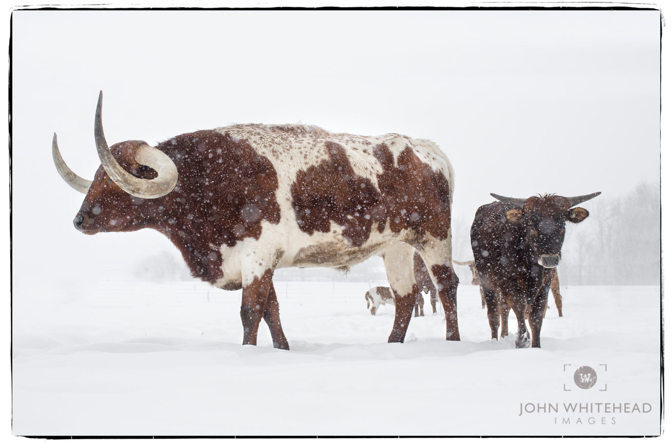 Longhorn Steer in the Snow