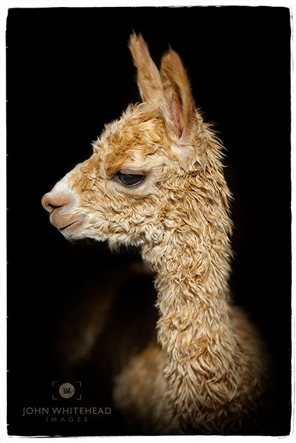 Simba of Bent Pine Alpaca Farm two days old Thursday, August 30, 2018.
