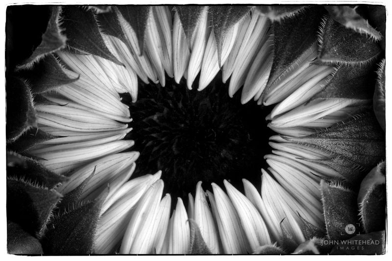 Black and white macro of a Sunflower