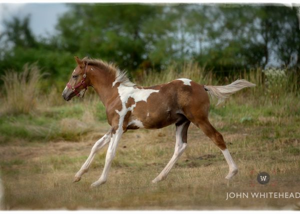 Photograph of a foul running through a pasture.