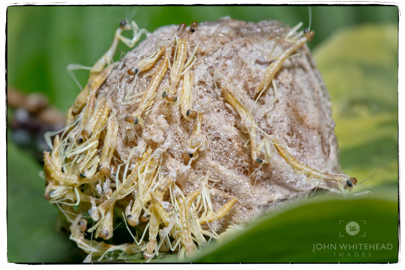 Praying Mantis Hatching