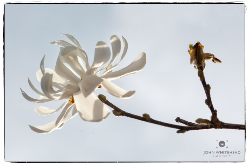 Blooming Star Magnolia.