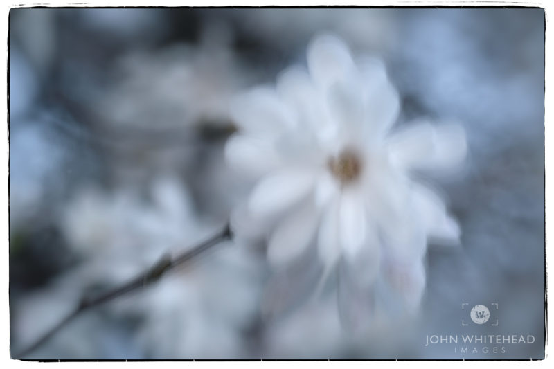 Star Magnolia Blowing in the Wind.